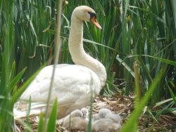 Moeder met nest