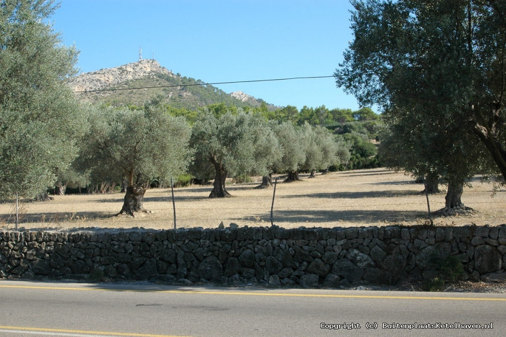 Mallorca olijfbomen
